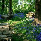 Bluebell Wood by mpstone