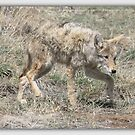 COYOTE  SERIES 4 0F 8 by Betsy  Seeton