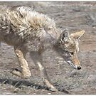 COYOTE  SERIES 8 0F 8 by Betsy  Seeton