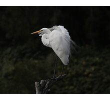 Egret Loosing Breeding Plumage  Canberra Australia  Photographic Print