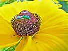 Solitary Bee On Black-Eyed Susan  -  Augochlora pura  -  Sweat Bee by MotherNature