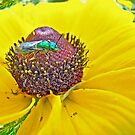 Solitary Bee On Black-Eyed Susan  -  Augochlora pura  -  Sweat Bee by MotherNature