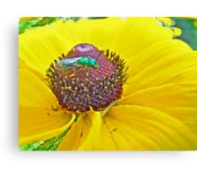 Solitary Bee On Black-Eyed Susan  -  Augochlora pura  -  Sweat Bee Canvas Print
