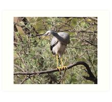 Listen to Me I have something to say  White Faced Heron Canberra Australia  Art Print