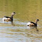 Pair of Grebes  Canberra Australia  by Kym Bradley