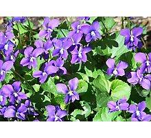 Field of Violets Photographic Print