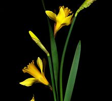Daffodil / Jonquil ~ Narcissus Falling by studio20seven