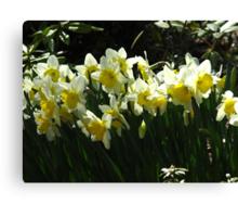 Daffodil glory Canvas Print