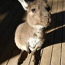 Cute Wallaby by Dentanarts