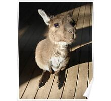 Cute Wallaby Poster