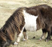 Brown Shetland Pony eating  by Craig  Meheut