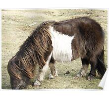 Brown Shetland Pony eating  Poster
