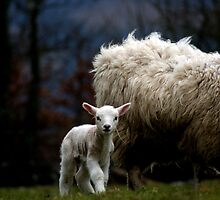 little lamb... ♥ by Gregoria  Gregoriou Crowe