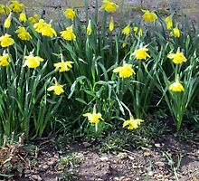 a lovely display of daffodils by margaret hanks