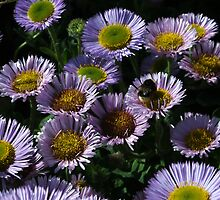 Seaside Daisies by Chris Day