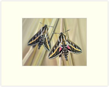 Hawkmoths by jimmy hoffman