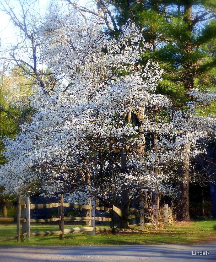 Magnolia Season... by LindaR