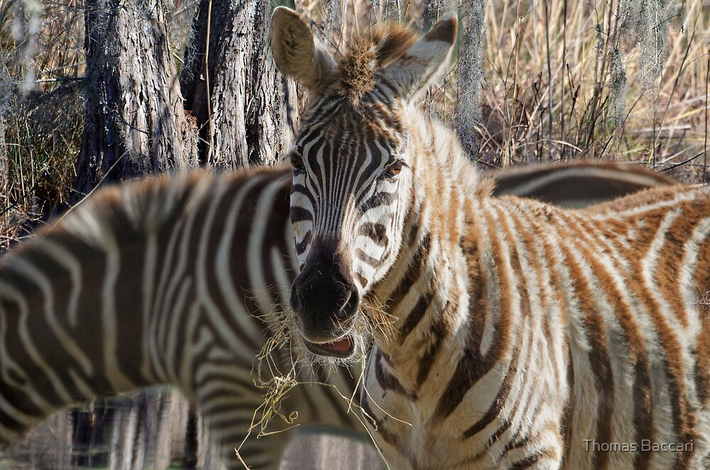 Zebra Grazing (Best Viewed Large) by TJ Baccari Photography