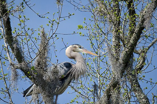 High in the Trees (Great Blue Heron) by imagetj