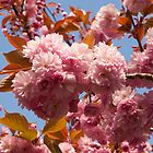 Cherry Blossoms by LoriPiquemal