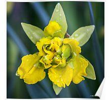 April Shower Daffodil Poster