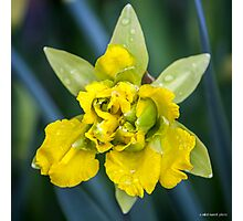 April Shower Daffodil Photographic Print