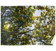 Broom branches laden with flowers Poster