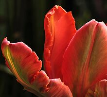 Frilly Tulip by Lynn Gedeon