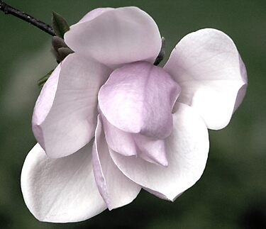 A Soft Whisper of Magnolia by AngieDavies