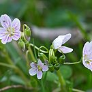 Carolina Spring Beauty - Wide-leaved Spring Beauty - Claytonia caroliniana by MotherNature