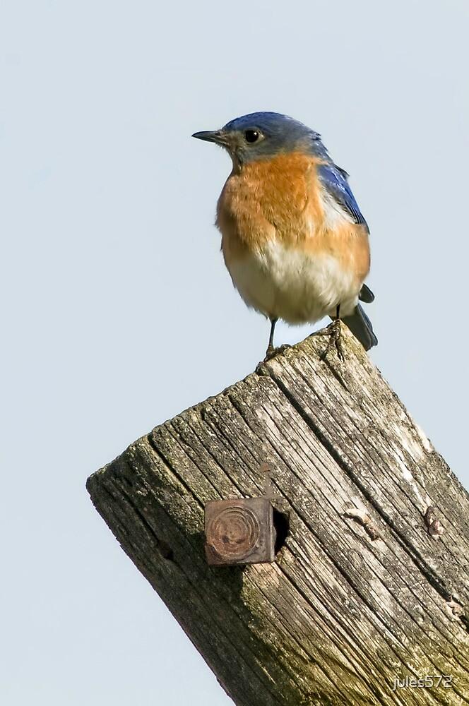 Eastern Bluebird - Sialia sialis by jules572