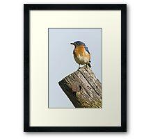 Eastern Bluebird - Sialia sialis Framed Print