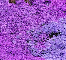 Phlox Phlox And More Phlox by James Brotherton