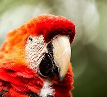 Scarlet Macaw  by JosePracek
