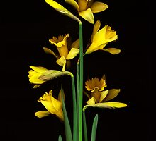 Daffodil / Jonquil ~ Narcissus Bouquet by studio20seven