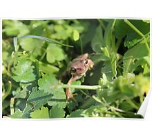Southern Brown Tree Frog Poster