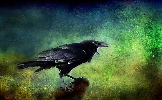 Common Raven by Barbara Manis