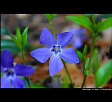 Vinca Minor - Lesser Periwinkle - Middle Island, New York  by © Sophie W. Smith