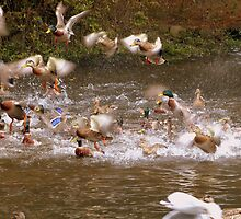 This Is Chaotic - Mallard Ducks - NZ by AndreaEL