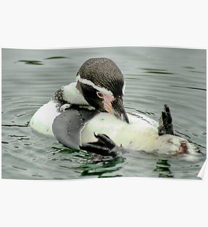 Preening Penguin Poster
