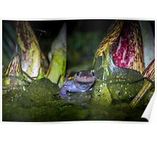 Marching Through Skunk Cabbage, Spotted Salamander (Ambystoma maculatum) Poster