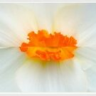 Daffodil Kisses... by LindaR