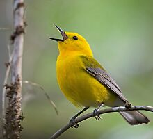 Prothonotary Warbler by imagetj