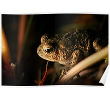 Drama on Centerville Road, American Toad (Bufo americanus)  Poster