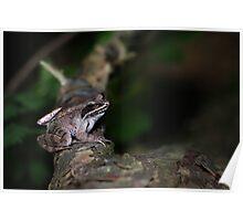 Sitting Still, Wood Frog (Rana Sylvatica)  Poster