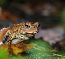 Murphys' Driveway, American Toad (Bufo americanus)  by Dave Huth