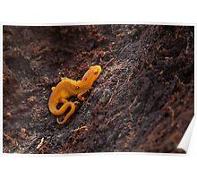 A Friend Eastern Newt, terrestrial eft stage (Notophthalmus viridescens)   Poster