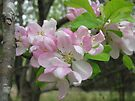 Apple Blossoms by Ginny York