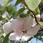 Quince Flowers by sunnydreams