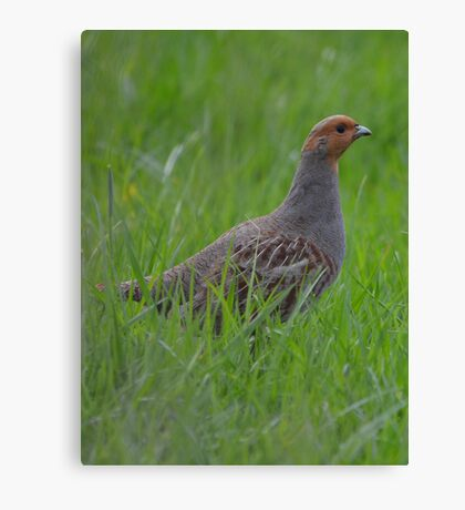 Partridge Canvas Print